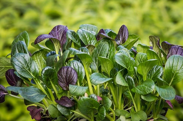 Spinach is a great source of many important nutrients.